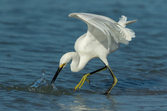Things Can Only Get Better (Gary McHale) Tags: strike fishing splash wings siesta key beach snowy egret gary mchale