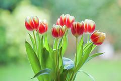 Tulips! (paulapics2) Tags: fleur flora floral blümen plant nature bulbs bokeh leaves canoneos5dmarkiii canonef70300mmf456lisusm january
