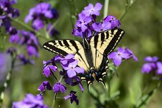 Western Tiger Swallowtail on Sweet Rocket
