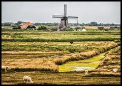 Molens & Schapen (glessew) Tags: windmolen windmill mühle molen moulin sheep schapen schaf landschap landscape landschaft noordholland bergen