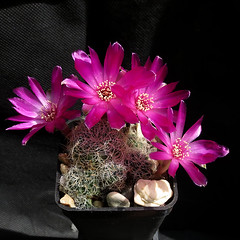 Sulcorebutia hertusii subsp. aureicapillata PHA176 '369' (Pequenos Electrodomésticos) Tags: cactus cacto flower flor sulcorebutia sulcorebutiahertusiiaureicapillatapha176