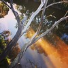 Trees over Yarra at Sunset (PsJeremy - back and catching up...) Tags: reflection yarra goldenhour gumtree