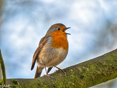 Rocking Robin (burnleybornandbred) Tags: bokeh singing england nature panasonic garden bird robin redbreast tree branches g9 animal wildlife uk sky feathers leica dg 100400 colourful branch leicadg100400 gardenbird panasonicg9 robinredbreast treebranches