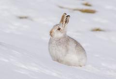 JWL5868 Mountain Hare... (jefflack Wildlife&Nature) Tags: mountainhare mountain mountains hares hare snow cairngorms scotland animal animals mammal moorland moors heathland countryside nature