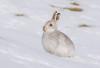JWL5868 Mountain Hare... (jefflack Wildlife&Nature) Tags: mountain mountains hares hare snow cairngorms scotland animal animals mammal moorland moors heathland countryside nature coth5 ngc npc mountainhare