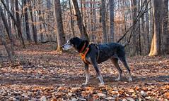 5/52 | remain in light (huckleberryblue) Tags: gracie bluetickcoonhound hound hiking 52weeksfordogs week5