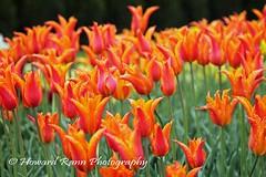 Longwood Gardens Spring 2017 (34) (Framemaker 2014) Tags: longwood gardens kennett square pennsylvania tulips united states america