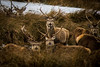 IMG_7144 (colinthefrog1) Tags: strath kildonan deer highlands scotland wildlife