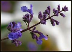 IMG_5465 Salvia Salivation 5-27-17 (arkansas traveler) Tags: ant bichos bugs insects flowers salvia nature naturewatcher natureartphotography bokeh bokehlicious zoom telephoto