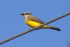 Tropical Kingbird - Tyrannus melancholicus (Roger Wasley) Tags: tropicalkingbird tyrannusmelancholicus panama centralamerica wild bird tyrant flycatcher tropical neotropical neotropics