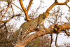 Leopard (mayekarulhas) Tags: maruleng limpopo southafrica za leopard canon cats wildlife wild safari carnivores africa animal