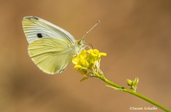 Quenching his thirst (Photosuze) Tags: butterflies insects cabbagewhites bugs pollination flowers flora nature wildlife animals