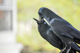 A touching moment, blind crow being fed by it's partner