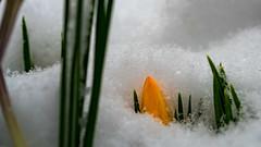 good morning (Alta Alteo) Tags: krokus schnee garten frühling gelb grün eingeschneit crocoideae magnoliopsida krokusse asparagales iridaceae crocus crocuschrysanthus