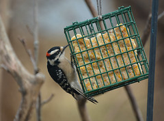 Dining At The All You Can Eat Suet Bar (thoeflich) Tags: downywoodpecker woodpecker birds