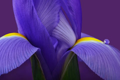 Iris Macro (njk1951) Tags: iris droplet flower springiris purpleiris closeup