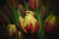 Flower - Toy Cam (snaptigerr) Tags: colorful dark effect nikond3400 nikon toycam 2018 spring spring2018 flower