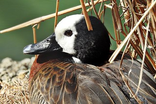 White Faced Whistling Duck in the reeds