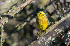 Yellowhammer (Max Thompson Photography) Tags: nature wildlife bird birds photography water reflection yellowhammer moorhen winter wild south west england uk contrast light sun