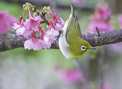 Japanese White eye and cherry blossom. (okiox) Tags: zosterops japonicus white eye sakura cherry blossom green pink iconic naturewatcher nikon tamron100400 wildlife fauna pose macro flora avian animal japanese japan okinawa asia park メジロ 目白