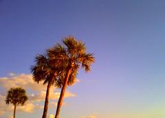 Palms (brotherM) Tags: lores digitalharinezumi florida sarasota lidokey trees palms palmtrees