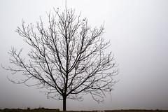Naked tree in the fog (jeremylisci) Tags: italia italy piemonte langhe barolo barbera nebbiolo nebbia fog aspirantisenzatetto igersitalia igersitaly igerpiemonte nakedthree naked three winter cold