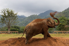 Sand shower [EXPLORED] (Lauro Meneghel) Tags: 2018 600d asia canon elephant thailand travel animals ef24105f4l elefante mammals natura nature park shower colors inexplore thai tailandia trip southeastasia exploring adventure world culture discover vibes sensations stunning emotions topf25