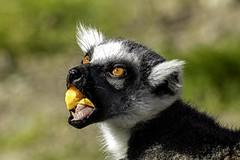 Yum (begineerphotos) Tags: lemur lemurs calgary zoo primate friendlychallenges