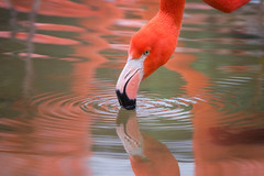 Reflection of a flamingo (lilredlizzie) Tags: flamingo bird reflection beautiful beauty pretty water color pink animal zoo outdoors outside nature naturelovers stonezoo stoneham massachusetts newengland canon canon80d canonef70300 bokeh dof bokelicious