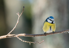 Blue tit (Explored) (- Man from the North -) Tags: greattit bird wildlife wildbird posing finnishwildlife nature finnishnature naturephotography naturallight finland westcoast ostrobothnia forest branch lightandshadow cyanistescaeruleus tree