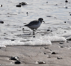 Winter plumage (Katy Wrathall) Tags: 2018 eastriding eastyorkshire england february fraisthorpe beach bird coast dunlin sea wader winter