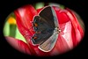 FOTY - Gray Hairstreak Butterfly (deanrr) Tags: foty butterfly butterflyonflower tulip redtulip grayhairstreak morgancountyalabama alabama nature alabamanature 2018 openwinged tamron18400 flower insect macro shadow