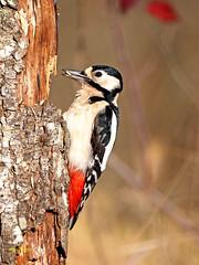 Pico picapinos (Dendrocopos major) (4) (eb3alfmiguel) Tags: aves pájaros carpintero piciformes picidae pico picapinos dendrocopos major pájaro árbol hierba animal bosque
