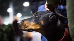 Head rub (zola.kovacsh) Tags: indoor animal pet dog show display exhibition doberman dobermann pinscher portrait