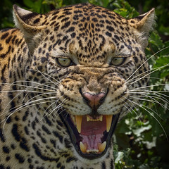World Wildlife Day (AnyMotion) Tags: worldwildlifeday internationalertagdesartenschutzes africanleopard pantheraparduspardus leopard angry hissing fauchend cat cats katzen katze closeup nahaufnahme portrait porträt 2018 anymotion tarangirenationalpark tanzania tansania africa afrika travel reisen animal animals tiere nature natur wildlife 7d2 canoneos7dmarkii square 1600x1600 ngc npc