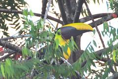 P2110147 (davidpetergibbins) Tags: chestnut mandibled toucan costa rica