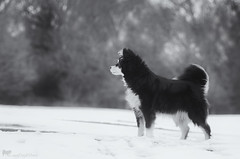 3/12/A taivas - alert (sure2talk) Tags: alert taivas finnishlapphund snow play shallowdof bokeh blackandwhite nikond7000 nikkor70300mmf4556afsifedvr newforest 12monthsfordogs 12monthsfordogs18 312a studio26