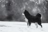 3/12/A taivas - alert (sure2talk) Tags: alert taivas finnishlapphund snow play shallowdof bokeh blackandwhite nikond7000 nikkor70300mmf4556afsifedvr newforest 12monthsfordogs 12monthsfordogs18 312a studio26