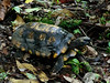 Schildkröte (Eerika Schulz) Tags: puyo ecuador schildkröte tortoise tortuga