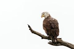 Bald Eagle (explored 03/03/2018) (Lynn Tweedie) Tags: bald eagle beak tree branch missouri