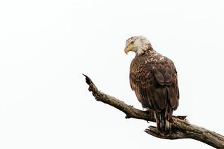 Bald Eagle (explored 03/03/2018)