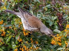 Fieldfare (Turdus pilaris) (Lathers) Tags: garden 4thmarch2017 canon7dmarkii canon500f4lisusmmarkii fieldfare turduspilaris