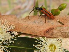 Stinking longicorn beetle - Stenoderus suturalis (jeaniephelan) Tags: beetle longbeetle longicornbeetle