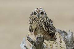 Short-eared Owl / Hibou des marais (shimmer5641) Tags: asioflammeus shortearedowl hiboudesmarais raptor owlsfamily britishcolumbiacanada birdsofbritishcolumbia birdsofnorthamerica birdofprey