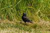 Starling (SLHPhotography1990) Tags: nikon walks yarmouth soph birds wild wildlife native british starling feeding grass