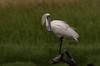 royal spoonbill (Platalea regia)-6670 (rawshorty) Tags: rawshorty birds canberra australia act jerrabomberrawetlands