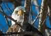 Got My Eye On You! (114berg) Tags: 17jan18 bald eagles ld14 mississippi river