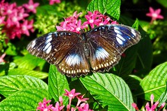 Great Eggfly Butterfly (AngelVibePhotography) Tags: depthoffield outdoor outdoors closeup beautiful arthropods colorful animals insects butterfly eggflybutterfly greateggflybutterfly nature eggfly plant photography butterflies animal insect macro flower brightcolors wildlife nikonp900 nikon