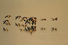 Oystercatchers in flight (jon lees) Tags: oystercatcher haematopusostralegus wader waders flight strangfordlough newtownards northernireland countydown