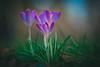 Radiating (--StadtKind--) Tags: stadtkind sonyfe90mmf28macrogoss sonyilce7r teamsony alphaddicted sonyalpha blüten blume pflanze krokusse flores fleur flower doflicious dof bokehlicious bokehmasters bokehaddicts bokeh